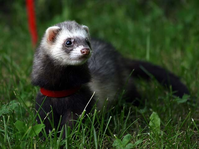 ferret-on-red-lead_0